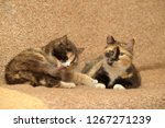 two tricolor cats on the couch | Shutterstock . vector #1267271239