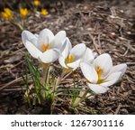 three white crocuses ard schenk ...   Shutterstock . vector #1267301116