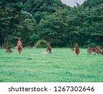 a family of kangaroos  relaxing ... | Shutterstock . vector #1267302646
