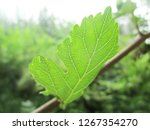leaves   foliage and green... | Shutterstock . vector #1267354270