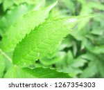 leaves   foliage and green... | Shutterstock . vector #1267354303