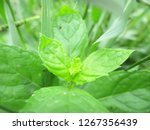 leaves   foliage and green... | Shutterstock . vector #1267356439