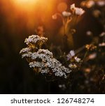 White Wild Flowers In Sunset