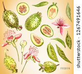 watercolor illustration feijoa...   Shutterstock . vector #1267491646