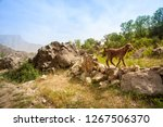 a lam in the mountains.... | Shutterstock . vector #1267506370