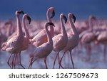 Big Flock Of Lesser Flamingo S...