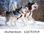 Two Alaskan Malamutes Sled Dog...