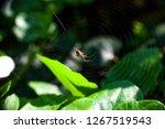 spider weaving web in summer... | Shutterstock . vector #1267519543