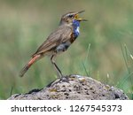 the bluethroat  luscinia...   Shutterstock . vector #1267545373