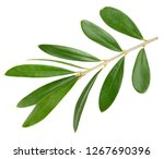 olive green leaves isolated on... | Shutterstock . vector #1267690396