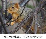 Fox Squirrel Close Up On Tree...