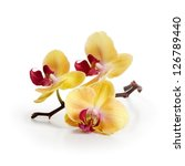 Three Gold Orchid Flowers With...