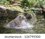 Animal: White Tiger splashing the water
