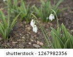 view on snowdrops  galanthuses  ... | Shutterstock . vector #1267982356