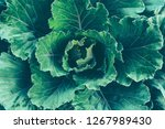 top view of ornamental cabbage... | Shutterstock . vector #1267989430
