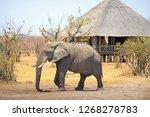 African Elephant Walking...