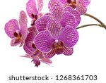 violet blooming orchids in... | Shutterstock . vector #1268361703