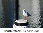 silver gull at darling harbour  ... | Shutterstock . vector #126844850