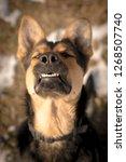 goofy and happy german shepherd | Shutterstock . vector #1268507740