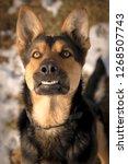 goofy and happy german shepherd | Shutterstock . vector #1268507743