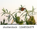 A Delicate Monarch Butterfly ...