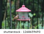 tiny female northern cardinal... | Shutterstock . vector #1268659693