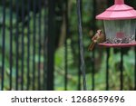 tiny female northern cardinal... | Shutterstock . vector #1268659696