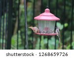 tiny female northern cardinal... | Shutterstock . vector #1268659726