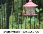tiny female northern cardinal...   Shutterstock . vector #1268659729