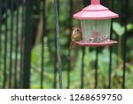 tiny female northern cardinal...   Shutterstock . vector #1268659750