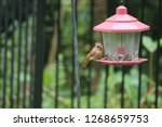 tiny female northern cardinal...   Shutterstock . vector #1268659753