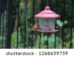 tiny female northern cardinal... | Shutterstock . vector #1268659759