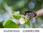 close up of a male cairns... | Shutterstock . vector #1268681386