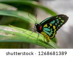 close up of a male cairns... | Shutterstock . vector #1268681389