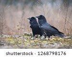 the common raven  corvus corax  ...   Shutterstock . vector #1268798176