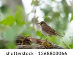 common nightingale  luscinia... | Shutterstock . vector #1268803066
