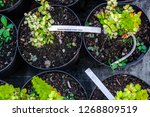 small japanese barberry bushes... | Shutterstock . vector #1268809519