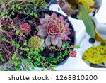 sempervivum green plants in... | Shutterstock . vector #1268810200