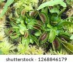 venus flytrap in garden | Shutterstock . vector #1268846179