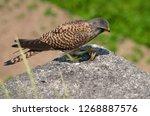 common kestrel got a lizard | Shutterstock . vector #1268887576