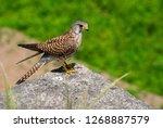 common kestrel | Shutterstock . vector #1268887579