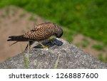 common kestrel got a lizard | Shutterstock . vector #1268887600