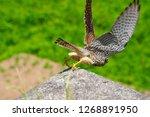 common kestrel started to fly | Shutterstock . vector #1268891950