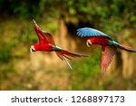 two red parrots in flight.... | Shutterstock . vector #1268897173