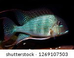 adult or full grown geophagus... | Shutterstock . vector #1269107503