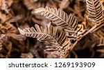 Frost On The Fern Leaves  Close ...