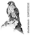 common kestrel with prey | Shutterstock . vector #1269223210
