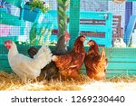 hens in a poultry hen house... | Shutterstock . vector #1269230440