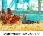 Hens in a poultry hen house...