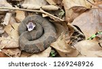 a cottonmouth  water moccasin ... | Shutterstock . vector #1269248926